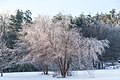 Frosted Tree (11584130026).jpg