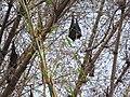 Fruit bats-2-bangalore-India.jpg