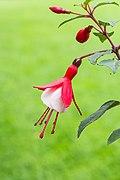 Fuchsia 'Twinny'. Bloeiwijze 01.jpg