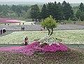 Fuji Shibazakura Festival (35951007675).jpg