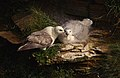 Fulmar and chick - geograph.org.uk - 239626.jpg