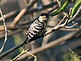 Fulvous breasted Woodpecker Im IMG 0232.jpg