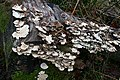 Fungus on Dead Wood - geograph.org.uk - 696686.jpg