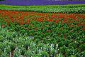 Furano flowers (7662397642).jpg