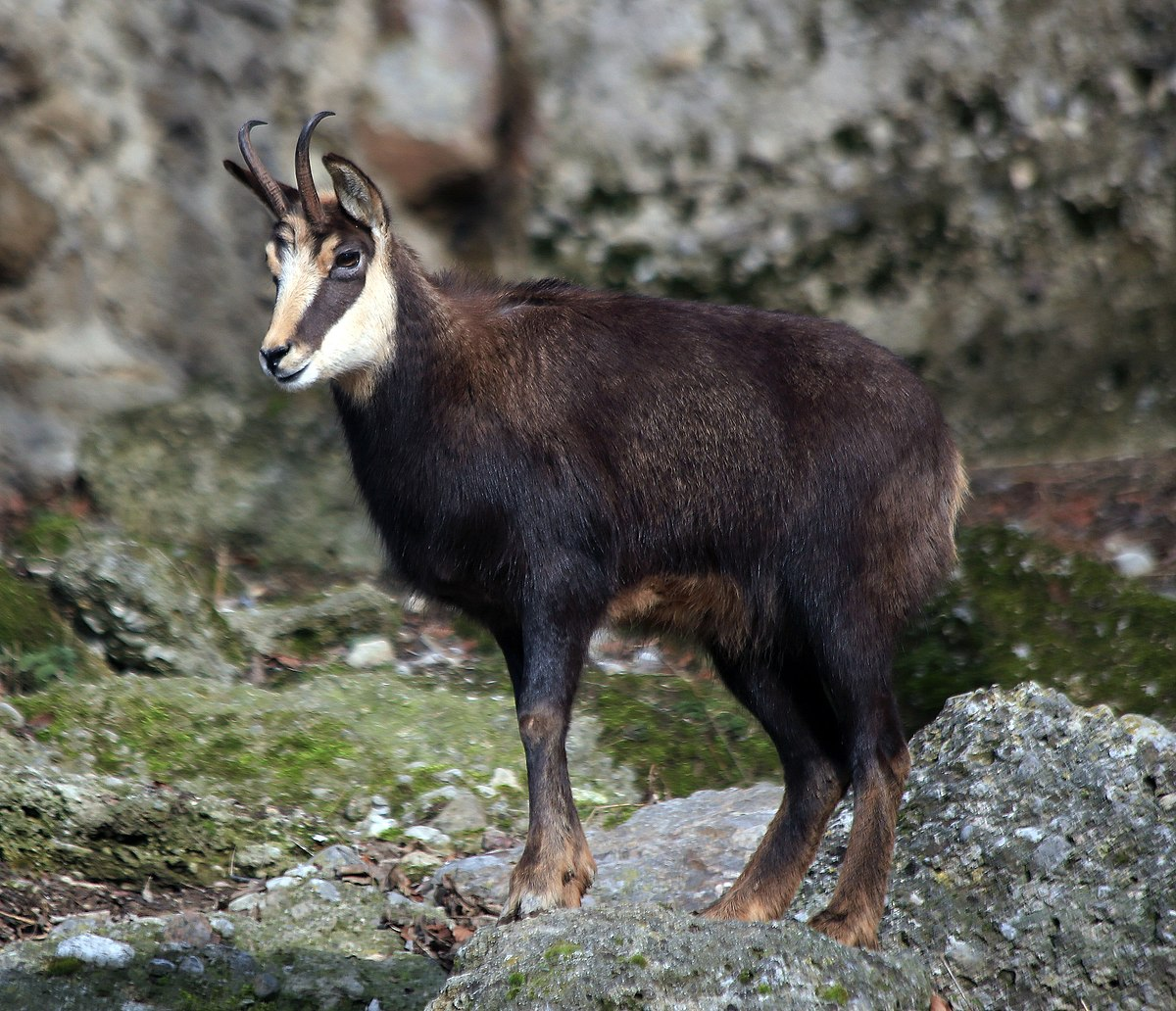 Chamois Wikipedia - chamois animal coloring pages