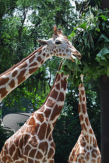 giraffe gewicht