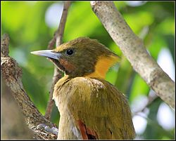 GREATER YELLOW-NAPED WOODPECKER.jpg