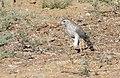 Gabar Goshawk (Micronisus gabar) juvenile (46143761662).jpg