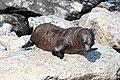 Galápagos fur seal 01.jpg
