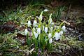 Galanthus nivalis with snow.jpg