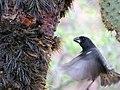 Galapagos Finch (49536878371).jpg