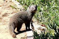 Galerella pulverulenta Small Grey Mongoose.jpg