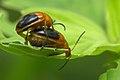 Galerucinae Oides sp mating in Kadavoor.jpg
