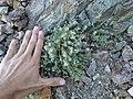 Galium hypotrichium 78254100.jpg