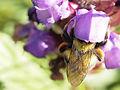 Garden bumblebee on Large Self-heal - 9315345580.jpg