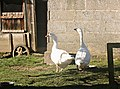 Geese, near Langridge - geograph.org.uk - 713595.jpg