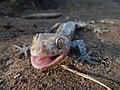 Gekko gecko, Karang Ranjang, Taman Nasional Ujung Kulon, 04082014.jpg