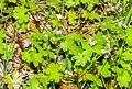 Geranium lucidum in Lozere (2).jpg