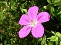 Geranium palustre flower close up 1 AB.jpg
