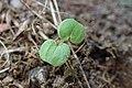 Geranium pyrenaicum kz04.jpg