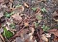 Geranium robertianum kz05.jpg