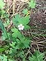 Geranium sibiricum flower.jpg