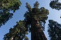 Giant sequoias in Giant Sequoia National Monument-4.jpg