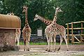 Giraffe at Chester Zoo.jpg