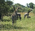 Giraffe in Matopos National Park.jpg