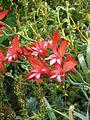 Gladiolus cardinalis (9341581841).jpg