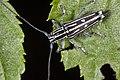 Glenea formosana (41156206990).jpg