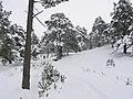Glenmore Forest. - geograph.org.uk - 133919.jpg
