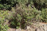 Globularia ascanii - Jardín Botánico Canario Viera y Clavijo - Gran Canaria - 01.jpg