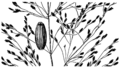 Glyceria grandis HC-1950.png