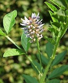 220px-Glycyrrhiza_glabra_inflorescence.jpg