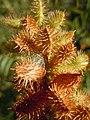 Glycyrrhiza lepidota (5021118488).jpg