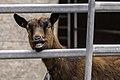 Goat (138351343).jpeg