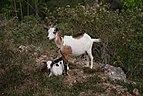 Goats Lamarre 2010-03-28.jpg