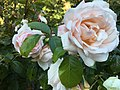Golden Gate Park Rose Garden 14 2017-06-12.jpg