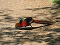 Golden Pheasant (2502062142).jpg