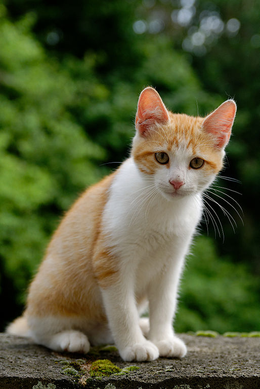 chaton blanc a donner