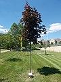 Graduation memorial tree (2014), 2017 Szolnok.jpg