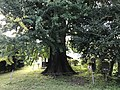 Grand Ginkgo Tree of Uchino 20171008.jpg