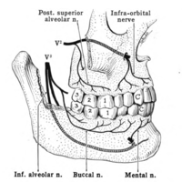 Nerves of the jaw