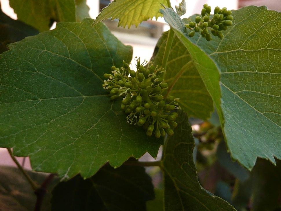 GrapesFlowers