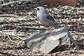 Gray-headed junco standing on a rock at Randall Davey Audubon Center.jpg