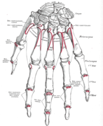 Extensor carpi ulnaris muscle