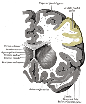 Gray743 middle frontal gyrus.png