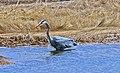 Great Blue Heron - panoramio (2).jpg