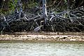 Great blue heron and black mangroves, Everglades National Park - panoramio.jpg